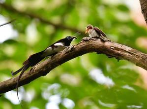 巣立ち雛 サンコウチョウ - 鳥さんと遊ぼう