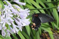 ■ チョウ 3種   17.7.19   (ナガサキアゲハ、トラフシジミ、ジャコウアゲハ) - 舞岡公園の自然2