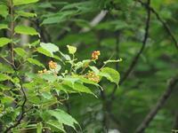 『上溝桜(ウワミズザクラ)と三葉空木(ミツバウツギ)と沢胡桃(サワグルミ)と赤芽槲(アカメガシワ)の実』 - 自然風の自然風だより