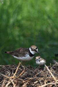 甘えん坊のコチッ子 - 野鳥公園