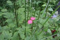 大暑(7/23~8/6)のころ、宮迫で咲く花 - 宮迫の! ようこそヤマボウシの森へ
