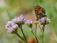 草原の風に翔ぶ蝶を追って(その6) - 不思議の森の迷い人