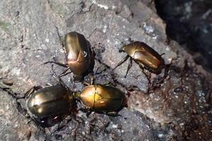 カナブンPseudotorynorhina japonica -