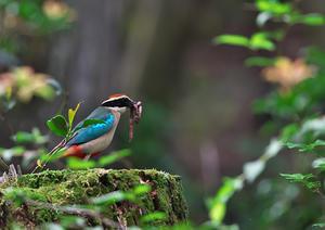 ヤイロチョウ 3 - 今日も鳥撮り