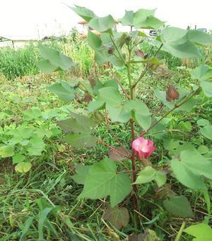 開花 - 綿と糸と畑と