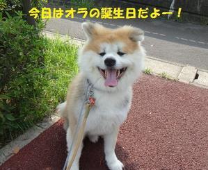 タイガ5歳&3周年! - もももの部屋(家族を待っている保護犬たちと我家の愛犬のブログです)
