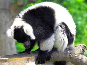 夏の上野動物園ワオキツネザル(7月20日) -