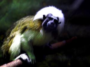 夏の上野動物園ワタボウシタマリン(7月20日) -