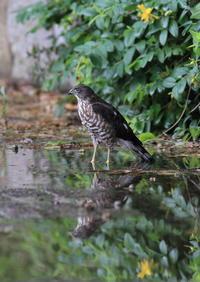 ツミ 幼鳥の初めての水浴び - 気まぐれ野鳥写真