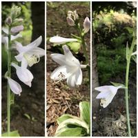 3つのギボウシの花 - 森の扉
