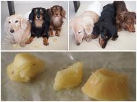 17年7月20日 冷凍キウイちゃん♪ - 旅行犬 さくら 桃子 あんず 日記