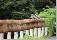 ペアで、ガードレールに - THE LIFE OF BIRDS --- 野鳥つれづれ記
