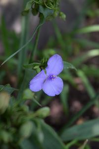 ◆花情報◆紫露草(むらさきつゆくさ)の花 - 名鉄犬山ホテル情報