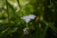 ◆花情報◆ 撫子(ナデシコ)の白い花 - 名鉄犬山ホテル情報