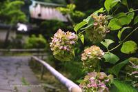 アジサイの終焉の美--鎌倉にて - くにちゃん3@撮影散歩
