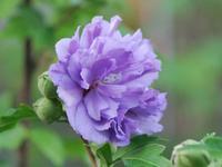 紫玉 - 南都☆花模様