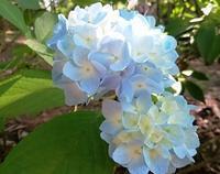 今!紫陽花開花中・・・庭の花たち♪ - 浅間山眺めてほのぼのlife~花だより♪