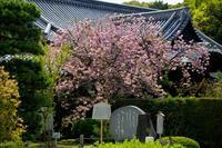 京都の桜2017 隨心院の春の花 - 花景色-K.W.C. PhotoBlog