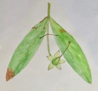 #植物スケッチ 『ビョウヤナギ』 - スケッチ感察ノート