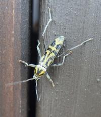 #甲虫  『竹虎髪切』   Chlorophorus annularis - 自然感察 *Nature * feeling*