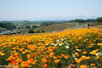 四季彩の丘から、鮮やかなハナビシソウVOL.2~7月の美瑛 - My favorite ~Diary 3~