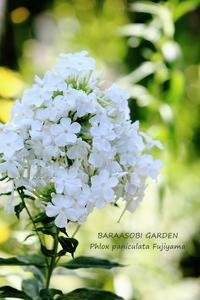 涼しげに咲いて - バラと遊ぶ庭