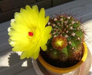 サボテンの花 -