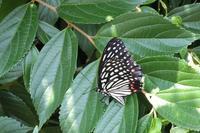 ■ アカボシゴマダラが産卵   17.7.20 - 舞岡公園の自然2