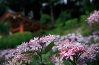 紫陽花! ~三室戸寺~ - Prado Photography!