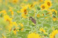 花見鳥No15 向日葵&オオヨシキリ - 花野鳥風月MISCHEH