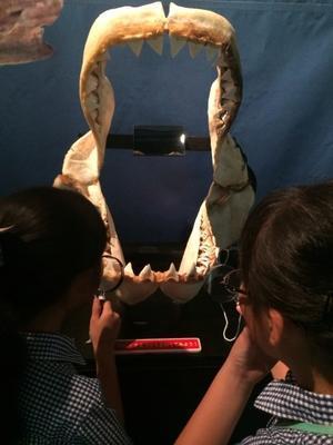 ホホジロザメ  * 沖縄県立博物館美術館 - 治華な那覇暮らし