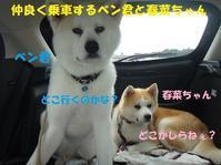 春菜ちゃん、お嫁入りのご報告♪ - もももの部屋(家族を待っている保護犬たちと我家の愛犬のブログです)