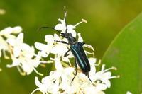 ルリハナカミキリ - Insect walk