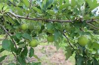 林檎の袋掛け - きつねこぱん