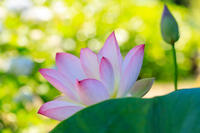 法金剛院の紫陽花と蓮 - 花景色-K.W.C. PhotoBlog