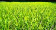 買い物難民・・・伸びた稲で、チクチクのてぬき十姓生活 - 朽木小川より 「itiのデジカメ日記」 高島市の奥山・針畑郷からフォトエッセイ