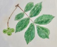#植物スケッチ 『七竈』 - スケッチ感察ノート