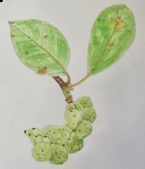 #植物スケッチ 『辛夷』 -
