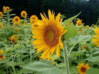 ひまわりの咲く頃 - 自然がいっぱい3