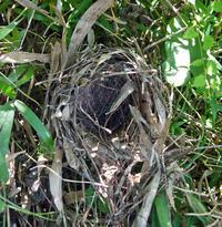 ガビチョウの孵化は失敗か、巣に卵の殻が皆無(7・21) - 北鎌倉湧水ネットワーク