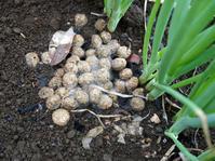 野ウサギの糞が六国見山の畑の青ネギの根元に7・20 - 北鎌倉湧水ネットワーク