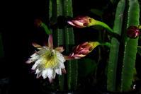 夜咲く花 - ちょっとそこまで