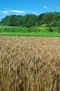 小麦(2017)の収穫 - キシノウエンの 今日のてしごと