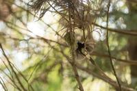 サマーサンコウチョウ - TORIKY 鳥記