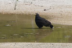 ベリーズ水たまりの Common Black-Hawk (コモンブラックホーク) - とことん写真