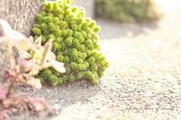 【追記あり7/23】SNSのお仕事とお散歩「道端多肉とにゃんこ」 - a piece of dream* 植物とDIYと。