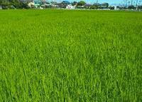稲のグリーン - 空飛ぶ絨毯