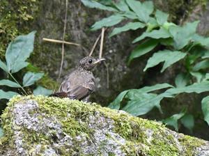 瞳の可愛いオオルリ幼鳥 - ベジタブルpartⅤ(鳥と共に日々是好日)