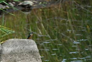 カワセミの幼鳥 -