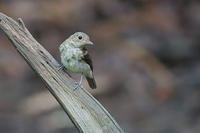 キビタキの幼鳥とオオルリの幼鳥は見分け難い - 上州自然散策2